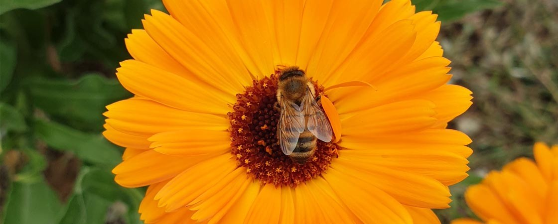 Calendula Officinal